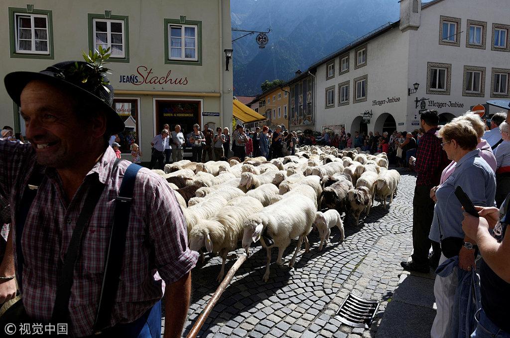 """德国""""赶牛下山节"""" 浩荡牛群场面壮观"""