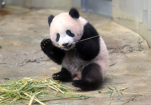 """日本上野动物园为熊猫庆生 推""""闻熊猫粪便""""特别活动"""