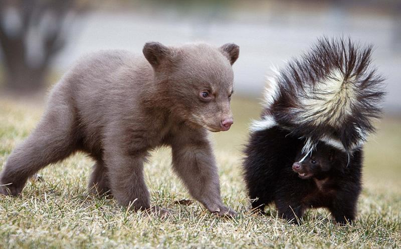 臭鼬是什么动物