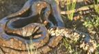 恐怖!蟒蛇身上布满异物 好心男将其救助