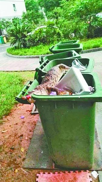 """小区垃圾桶现死鳄鱼 业主称""""养"""