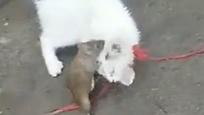 实拍逆天大老鼠干翻白猫 狂啃猫头
