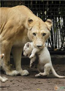 白狮历险记