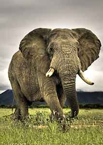 大象:危险指数第一名