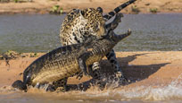 实拍美洲豹偷袭大战鳄鱼 背后咬住死死不放
