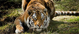 女子自驾游北京野生动物园 被窜出的老虎叼走