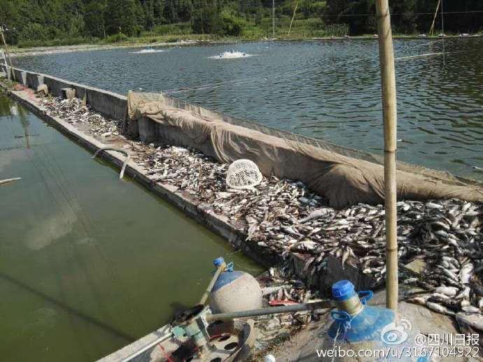 四川高温,3万斤鱼被热死 - wzx7401 - wzx7401的博客
