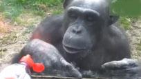 实拍黑猩猩用手语暗示游客帮我逃出去