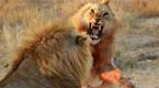 年轻雄狮挑战老狮王失败 最后竟被母狮所救