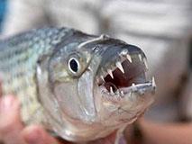 非洲虎鱼成群对人发动攻击 凶残程度超过食人鱼