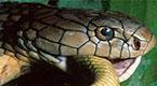 2.4米眼镜王蛇占屋为王 冷血与人悬梁对视