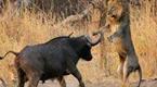 水牛偶遇狮子激情交配 瞬间暴走发动攻击