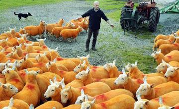 丢了300只羊后,他做了这件事