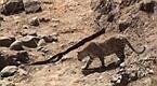 豹子成功偷袭蟒蛇:准备吃掉时傻眼了