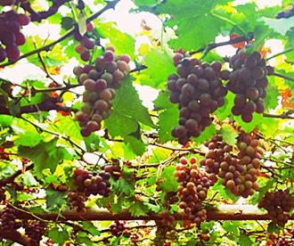 【美丽乡村】城阳宫家村:葡萄架下的闲暇生活