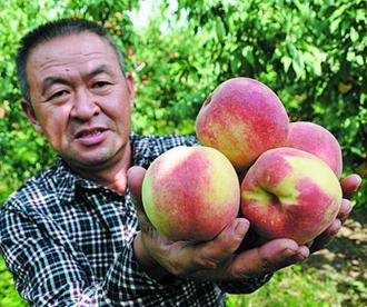 胶州百亩晚熟桃进入采摘季 将持续一个月