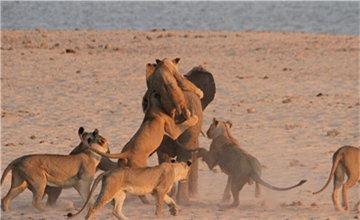 猛狮攻击大象
