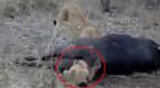 实拍狮子捕食野牛后脑袋卡肛门 被活活憋死