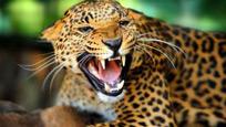印度花豹遭活活烧焦 因其咬死女童