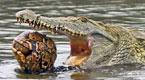 实拍鳄鱼吞了只大乌龟 折腾半天咽不下去