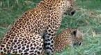 母花豹为孩子的安全 不停与两只公豹幽会