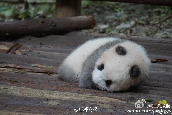 游客用食物砸醒熊猫 还让不让宝宝睡觉