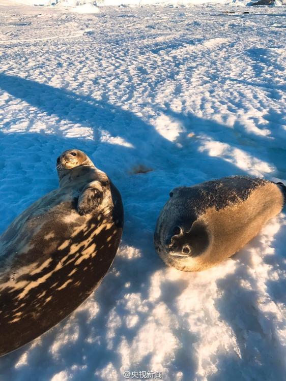 南极中山站附近聚集成群海豹 表情激萌 - 旭东方博客 - 旭东方博客家园欢迎您