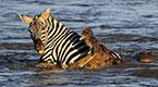 实拍斑马过河被鳄鱼袭击 被吃下一块内脏后挣脱
