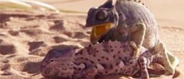 母蜥蜴沙漠求偶记 求欢成功可也太短了吧