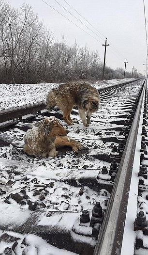 小狗受伤倒在铁轨 狗伙伴守护2天帮躲火车(组图)