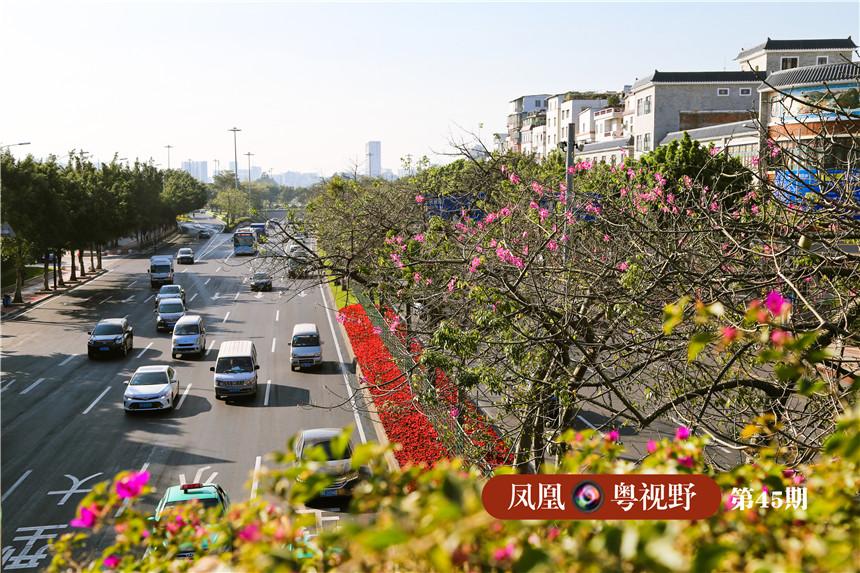整治改造后的新滘中路,除了沿路的异木棉,道路中间与两旁的绿化带也进行了美化升级。