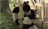 国宝生活短片:熊猫呆萌起来简直太可爱了