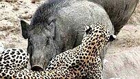 两只野猪饿疯了:竟组团去抓豹子吃