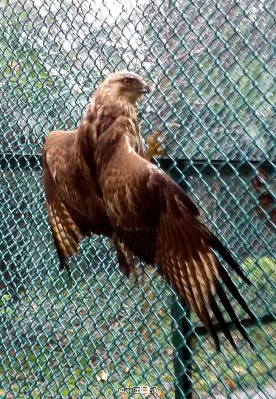 这只大鵟被送往河南省野生动物救护中心治疗