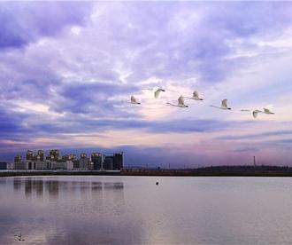 """胶州湾湿地 """"贵客""""临门 候鸟迁徙的中途驿站"""