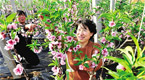 河北卢龙县温室桃棚花开正艳