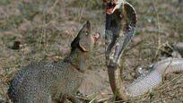 经常把蛇当辣条来吃的动物,它竟然排第一名