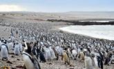 百万企鹅登陆阿根廷旁塔汤布岛