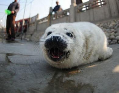 蓬莱:四只斑海豹喜添小宝宝 卖萌亮相