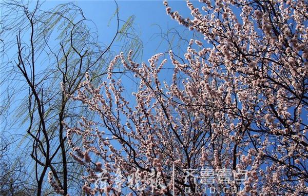 山师校园:十几米高的桃花树霸气绽放