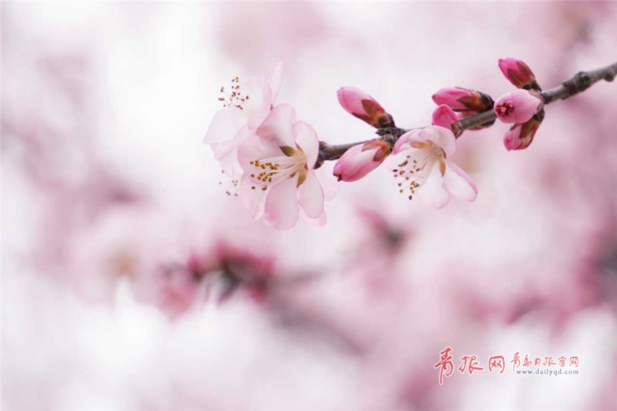 山桃树成长图片欣赏