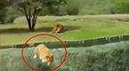 实拍凶猛母狮欲袭击游客坠落深沟 公狮淡定围观