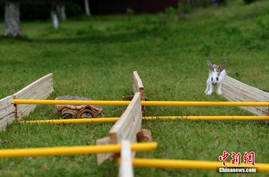 龟兔赛跑现实版:兔子没睡觉还是赢不了_资讯频道_凤凰网