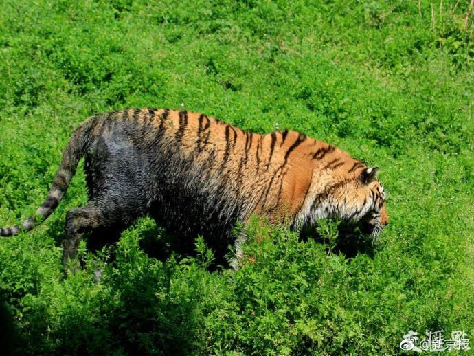 """"""" 人家北京动物园的老虎有旋转自助餐吃,宁波动物园的老虎有外卖送货"""