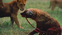母狮群围杀落单斑鬣狗 场面血腥肠子飞出