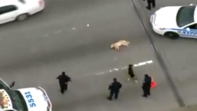 狗被车撞死 伙伴朝警察狂吠