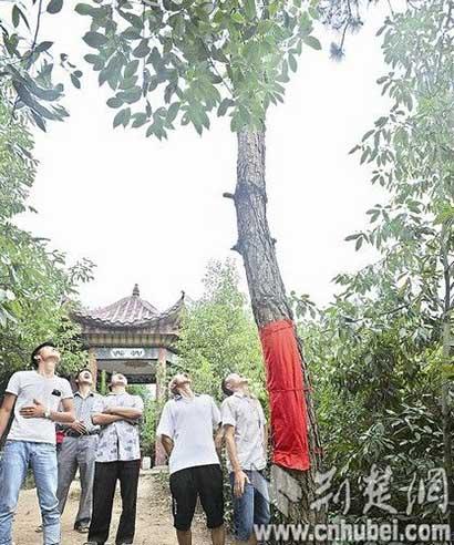 """菩萨显灵?寺庙旁4棵松树突然""""晴天下雨""""(图)"""