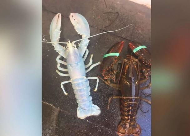 渔民捕获蓝色半透明龙虾 专家:味道没差别