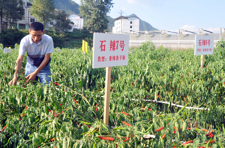 重庆石柱:自主研发21个辣椒新品种 助力精准扶贫