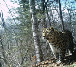 27+42 红外相机镜头下的野生东北虎豹
